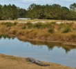 An alligator enjoys the peaceful natural setting of the Oldfield Golf Club in Okatie, S.C.