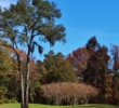 A series of trees block the left side of the 16th green at Hilton Head National Golf Club in Bluffton, S.C.